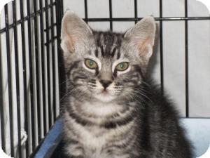Domestic Shorthair Cat for adoption in Milwaukee, Wisconsin - Jazzpurr