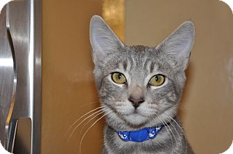 Domestic Shorthair Kitten for adoption in Foothill Ranch, California - Kirby