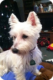 Westie, West Highland White Terrier Dog for adoption in Frisco, Texas - Banjo