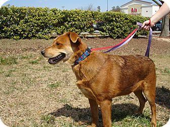 Shepherd (Unknown Type) Mix Dog for adoption in Smithfield, North Carolina - Ziggy
