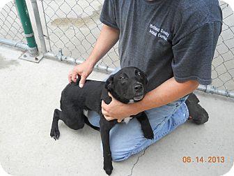 Hound (Unknown Type)/Labrador Retriever Mix Dog for adoption in Olney, Illinois - Summer