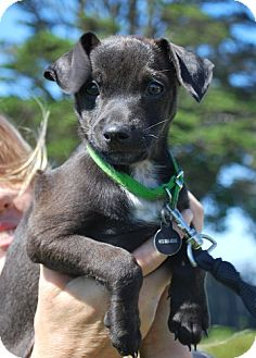 Patterdale Terrier (Fell Terrier)/Jack Russell Terrier Mix Puppy for adoption in San Francisco, California - Boo
