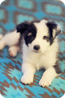 Border Collie/Australian Shepherd Mix Puppy for adoption in Chattanooga, Tennessee - Pandora