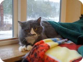 Domestic Mediumhair Cat for adoption in Libby, Montana - Skittles