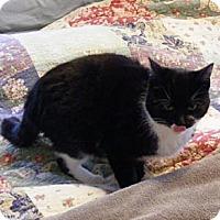 Domestic Shorthair Cat for adoption in Ashland, Ohio - Victor