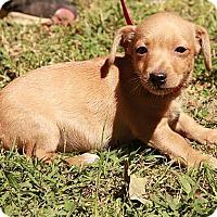 Adopt A Pet :: Chris - Staunton, VA
