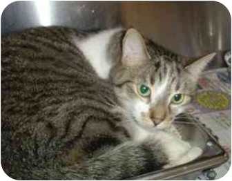 Domestic Shorthair Cat for adoption in Walker, Michigan - Hyde