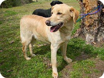 Labrador Retriever Mix Dog for adoption in Tyner, North Carolina - Jules of the Three Amigos