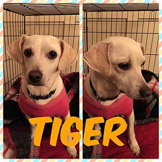 Chihuahua/Dachshund Mix Dog for adoption in Newnan, Georgia - Tiger