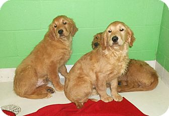 Golden Retriever Puppy for adoption in Sunset Hills, Missouri - Golden Retriever Girls