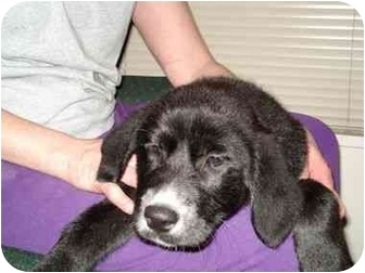 Labrador Retriever Mix Puppy for adoption in Evergreen, Colorado - Gertrude