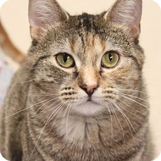 Domestic Shorthair Cat for adoption in Naperville, Illinois - Maggie Lou