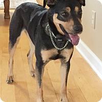 Adopt A Pet :: Bella - Chapel Hill, NC