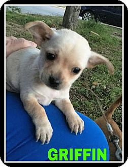Chihuahua Mix Puppy for adoption in Saddle Brook, New Jersey - Griffin