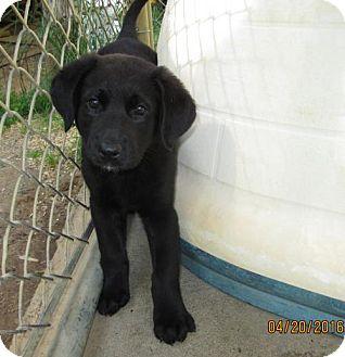 Labrador Retriever/German Shepherd Dog Mix Puppy for adoption in Brookside, New Jersey - Yasmin