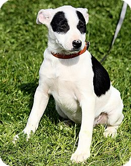 Jack Russell Terrier/Labrador Retriever Mix Puppy for adoption in Allentown, Pennsylvania - Tabitha