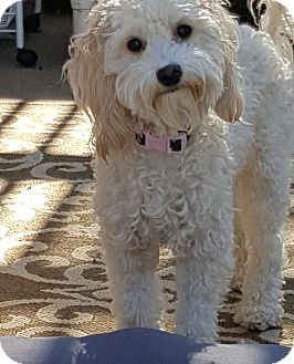 Poodle (Miniature)/Maltese Mix Dog for adoption in San Diego, California - Heidi