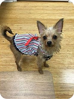 Terrier (Unknown Type, Small)/Cairn Terrier Mix Puppy for adoption in Shallotte, North Carolina - Ella