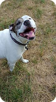 American Pit Bull Terrier/American Staffordshire Terrier Mix Dog for adoption in Eastpointe, Michigan - Gracie