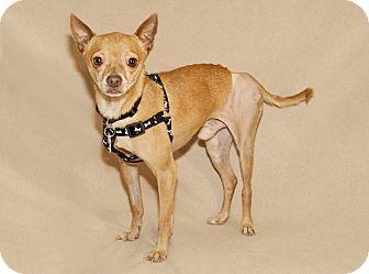 Chihuahua Mix Dog for adoption in Thousand Oaks, California - Tito