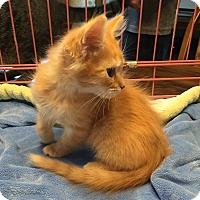 Adopt A Pet :: Curly - Simpsonville, SC