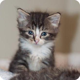 Domestic Mediumhair Kitten for adoption in New Martinsville, West Virginia - 2 Beauties