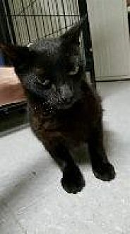 Domestic Shorthair Cat for adoption in Queenstown, Maryland - Treble
