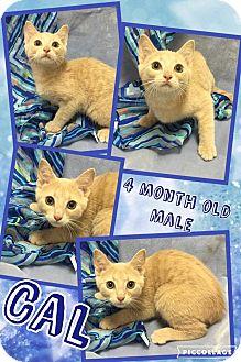 Domestic Shorthair Kitten for adoption in Lexington, North Carolina - CAL