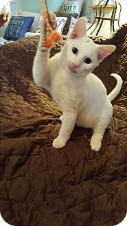 American Shorthair Kitten for adoption in Ocala, Florida - Xavier