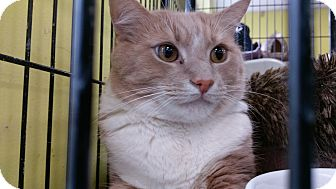 Domestic Shorthair Cat for adoption in Columbus, Ohio - HeathCliff