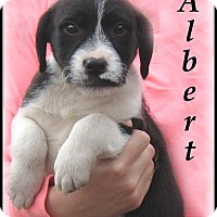 Adopt A Pet :: Albert-Adoption Pending - Marlborough, MA