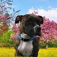 Adopt A Pet :: PICKLES - Fairfield, CA