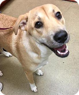 Labrador Retriever Mix Dog for adoption in Miami, Florida - Hyde