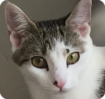 Domestic Shorthair Cat for adoption in Norwalk, Connecticut - Peaches