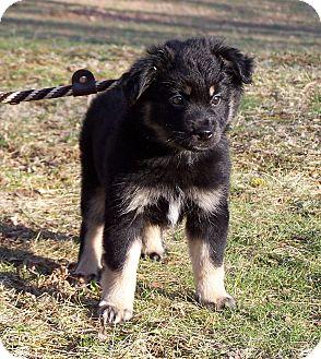American Eskimo Dog/Australian Shepherd Mix Puppy for adoption in Milford, New Jersey - Willow