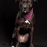 Pit Bull Terrier/Boxer Mix Dog for adoption in Acushnet, Massachusetts - Eve