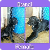 Adopt A Pet :: Brandi meet me 5/5 - Manchester, CT