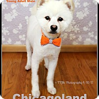 Adopt A Pet :: Little Bear - Elmhurst, IL