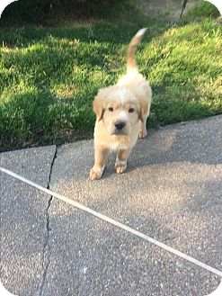 Golden Retriever Mix Puppy for adoption in Colmar, Pennsylvania - Frayser