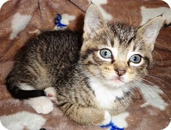 Domestic Shorthair Kitten for adoption in Lebanon, Pennsylvania - Astrid