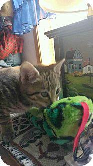 Domestic Shorthair Kitten for adoption in Wrightsville, Pennsylvania - Spur