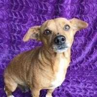 Dachshund/Chihuahua Mix Dog for adoption in Fredericksburg, Texas - Mrs. Rowling