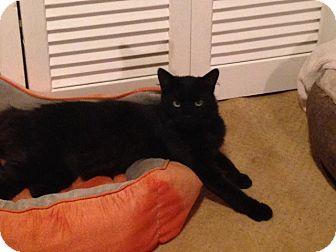 Domestic Mediumhair Cat for adoption in El Dorado Hills, California - Fluffy