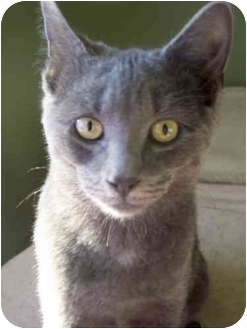 Russian Blue Kitten for adoption in Pittstown, New Jersey - Pewter