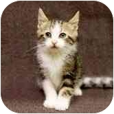 Domestic Shorthair Kitten for adoption in Chicago, Illinois - Rosie