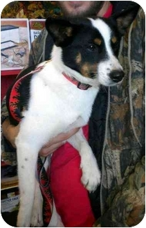 Smooth Fox Terrier Mix Dog for adoption in Humble, Texas - Petey