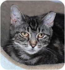 Domestic Shorthair Cat for adoption in Milton, Massachusetts - Abigail