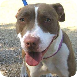 American Pit Bull Terrier Mix Dog for adoption in Austin, Texas - Nolly