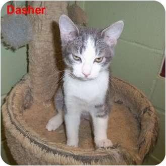 Domestic Shorthair Kitten for adoption in Slidell, Louisiana - Dasher