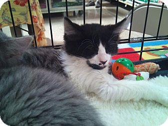 Domestic Longhair Kitten for adoption in Modesto, California - Stanley